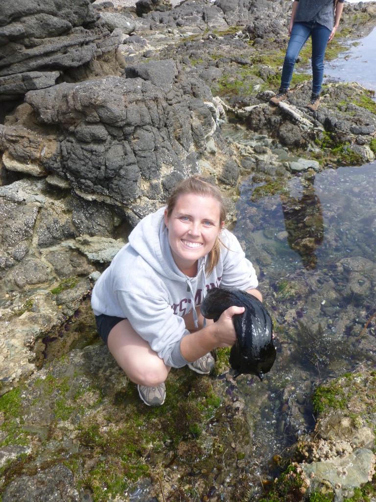 A huge black sea hare (Aplysia vacaria)