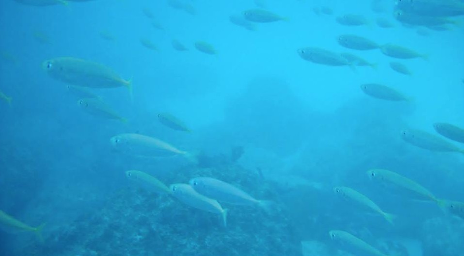 Schooling fish at Hamdeok