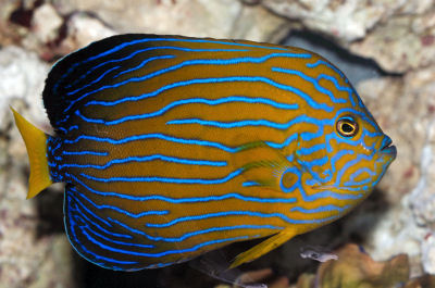 Bluestriped Angelfish