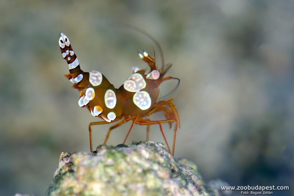 Sexy shrimp, zoobudapest.com