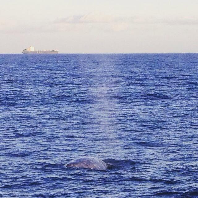 Gray whale with container ship